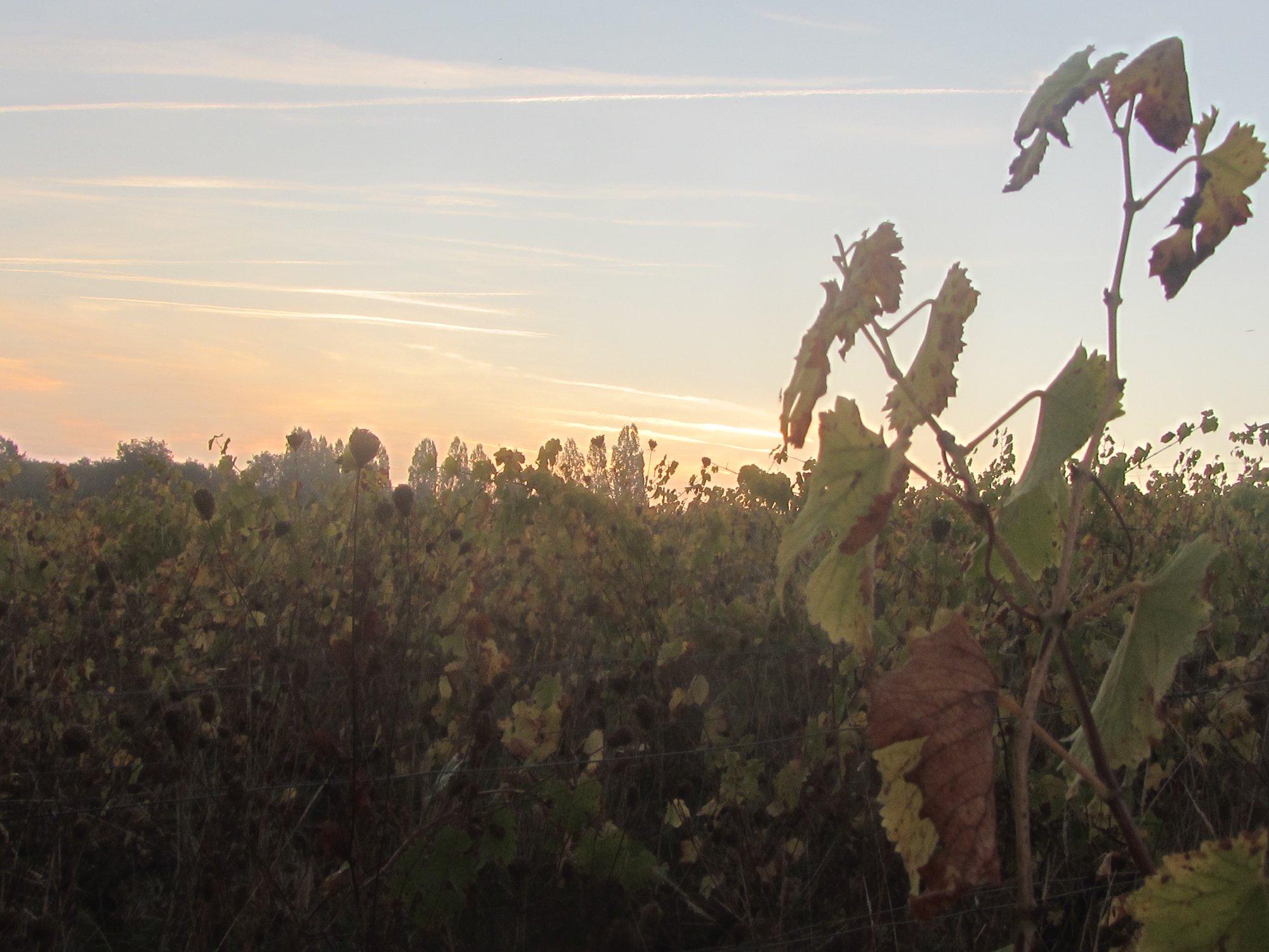 photo des vignes famille durand vigneron Ultime tri 2018 dans nos vignes de Chenin 1