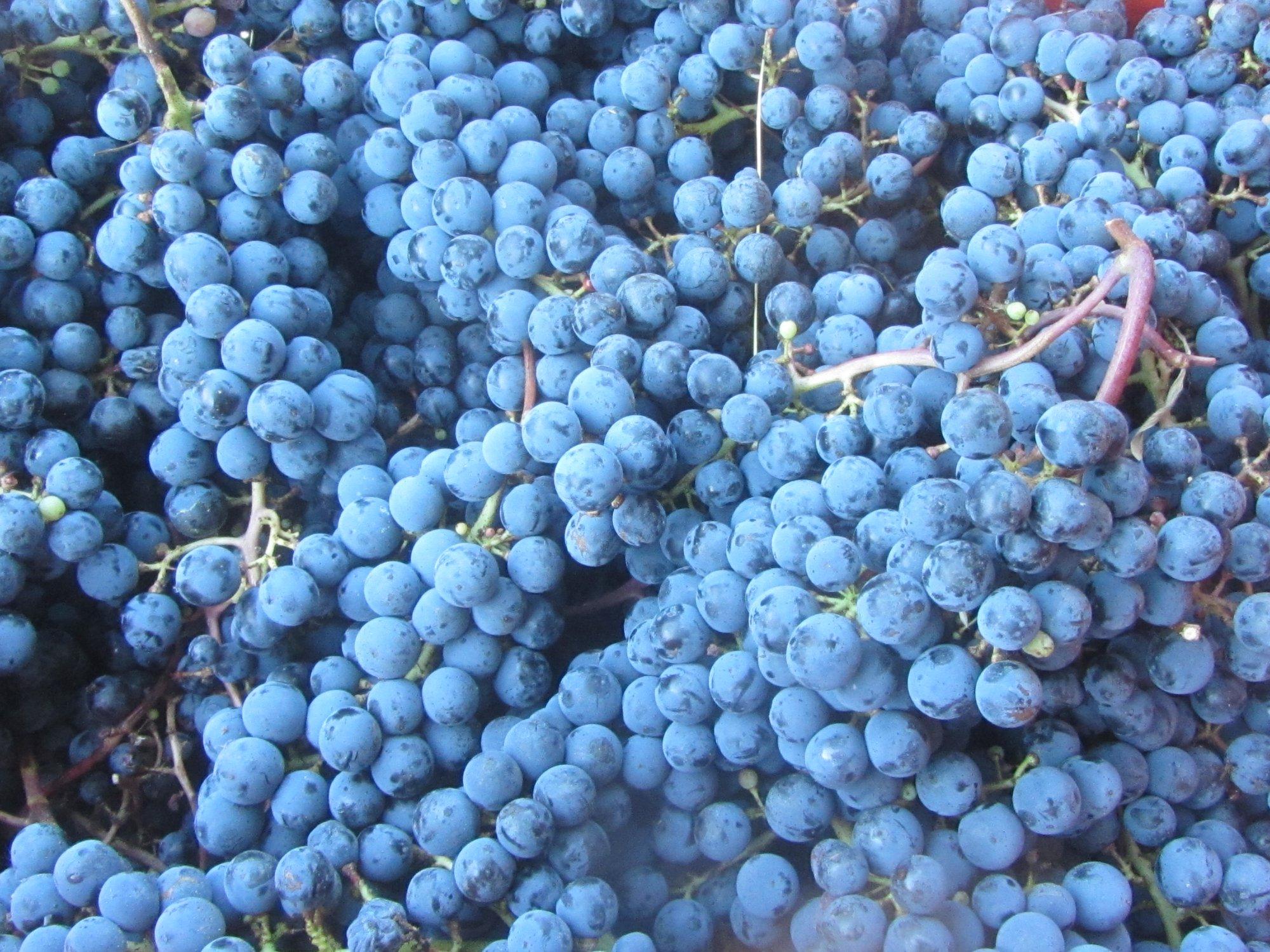 Photo de raisins après la récolte Pressurage de notre rosé Soir d'Octobre